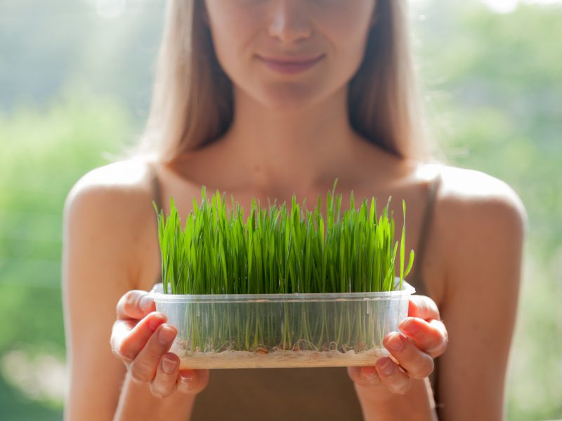 """Young woman grows raw wheatgrass seedlings in a plastic tray."""